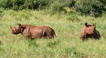 Black Rhino in Tsavo