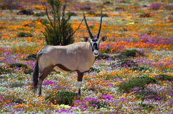 Oryx antelope, West Coast National Park, South Africa