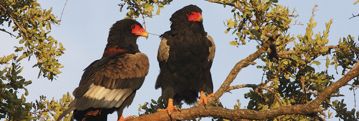 Bateleur Eagles are one of the many bird species
