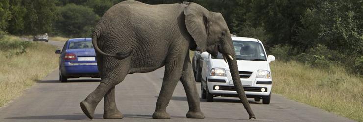 Elephant crossing a road, Kruger National Park