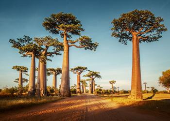 Madagascar's unique baobabs