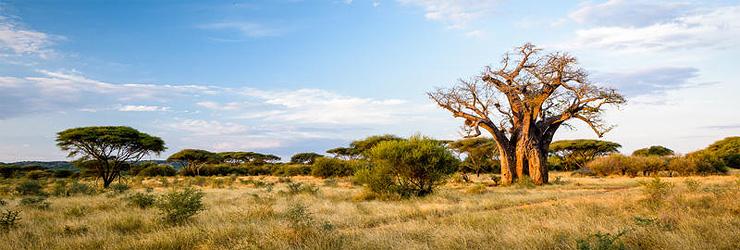 Baobab Tree, Singita Pumashana