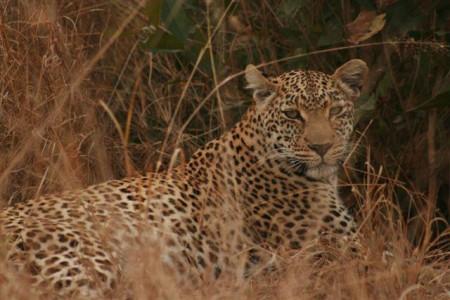 Leopard at Elephant Plains Lodge