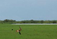 Lechwe, Okavango Delta
