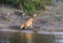 Lioness on Botswana Safari
