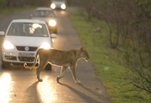 Lioness on safari