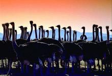 Ostrich Farm - Oudtshoorn