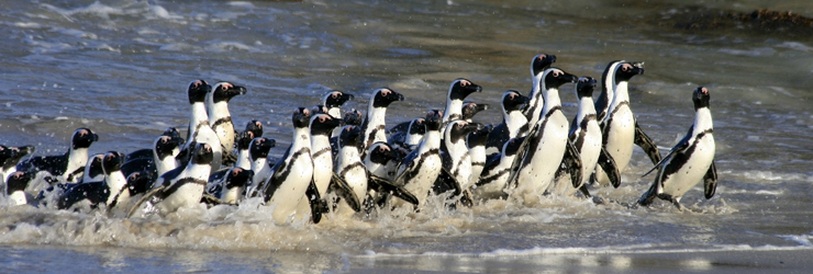 African penguins can be seen on the beaches of the Cape Peninsula, South Africa