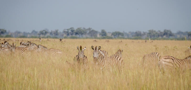 Zebra in big numbers utilize the waters of the Chobe