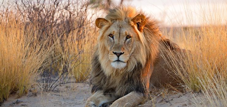 The huge Kalahari lions are a sought after sighting