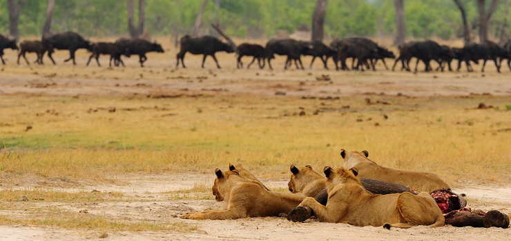 Lion eyeing out some passing buffalo