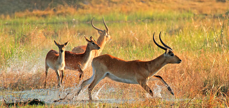 Lechwe in the Linyanti Swamps