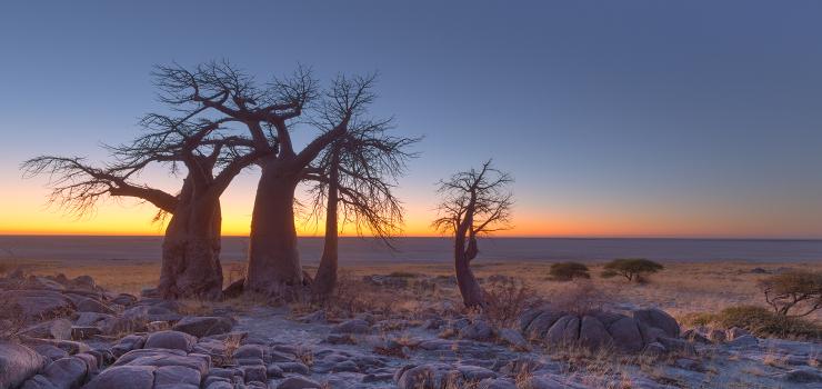 Baobab trees, Makgadikgadi Pans