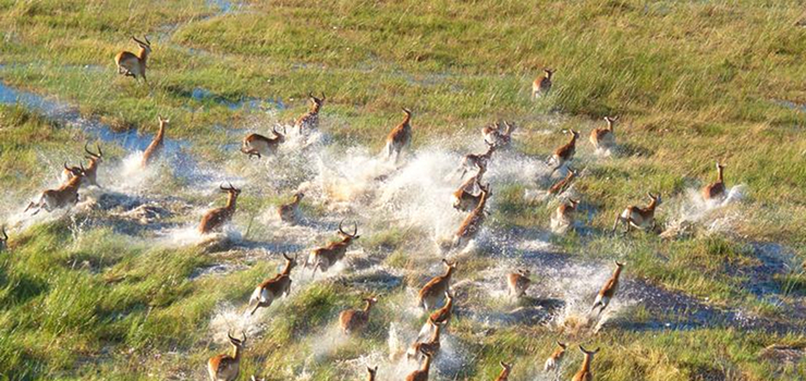Lechwe are one of many species occuring in the Okavango