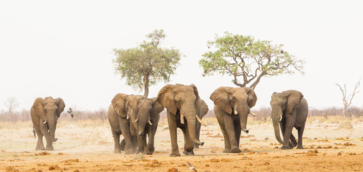 Bull elephants, Savute