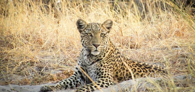 Leopard, Savute, Botswana