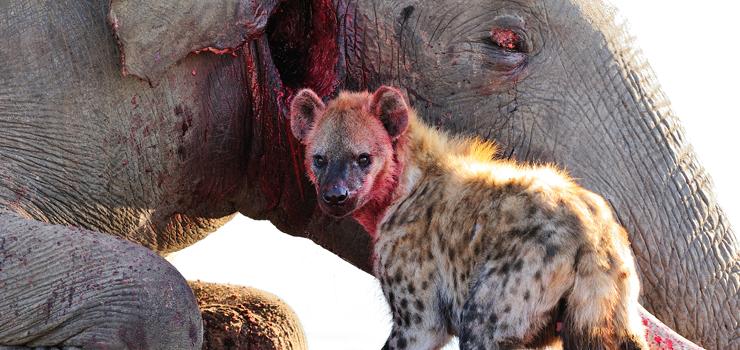 Hyena on feeding on an elephant carcass, Savute, Botswana