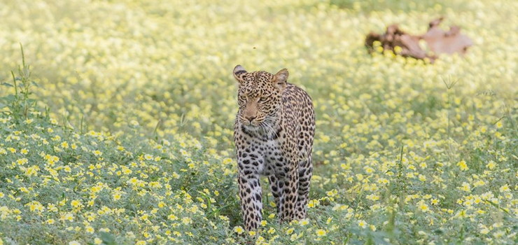 The rocky outcrops of the Tuli are perfect for leopard