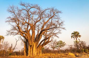 Baobab Tree near the falls