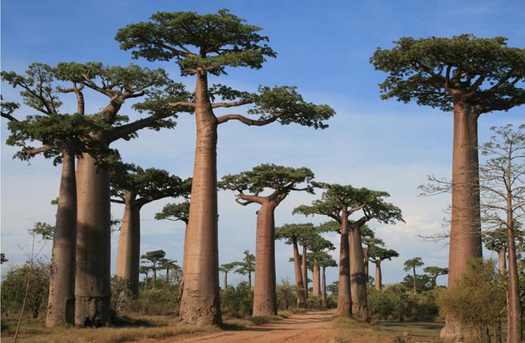 Baobabs of Madagascar