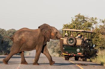 Elephant whilst on game drive, Chobe Safari Lodge