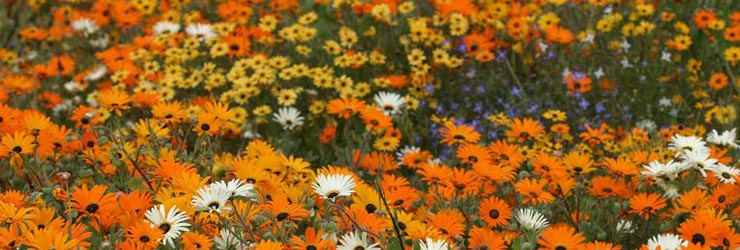 Wild Flowers of the Namaqualand