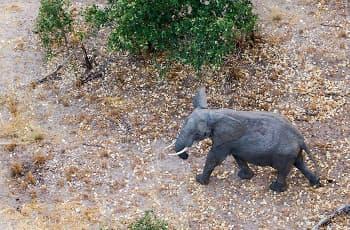 Elephant seen from the air, near Chobe, Botswana