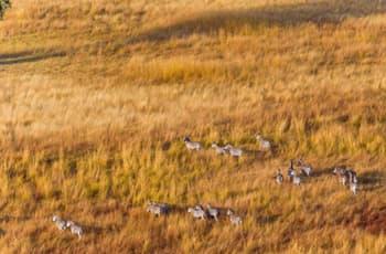 Zebra seen on the grasslands at dawn, Chobe, Botswana