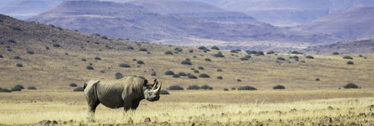 Black rhino, Damaraland,