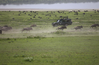 Wildebeest on the move, Serengeti, Tanzania
