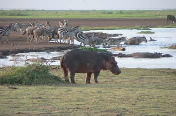 Hippo at Lake Manyara, Tanzania