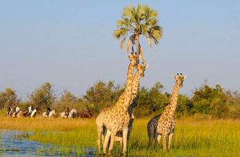 Horseback Safari viewing giraffe, African Horse Back Safaris, Botswana