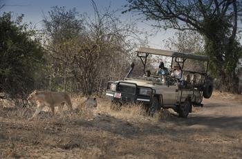 Lion on safari at Kanga Camp, Zimbabwe