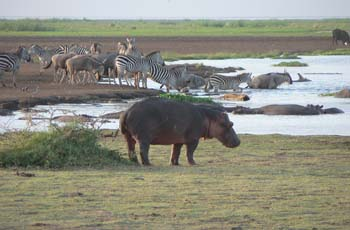 Hippo are one of the many wildlife species at Lake Manyara