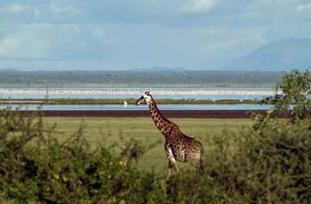 Giraffe with Lake Manyara in the background, Tanzania
