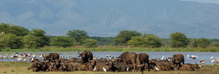 Buffalo, Lake Manyara, Tanzania