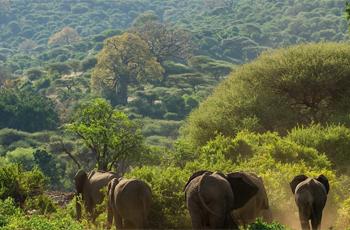 Elephants near Lake Manyara Serena, Tanzania