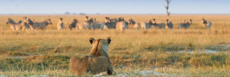 Lioness watching her prey - near Chobe Game Lodge, northern Botswana