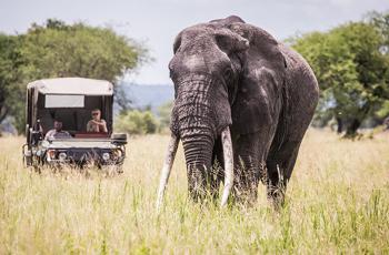 Large bull elephant, game drive, Little Chem Chem, Tanzania