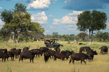 Interaction between buffalo & lion in Okavango Delta is common