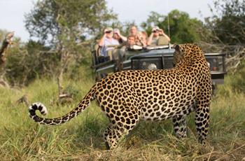 Leopard on safari, Mala Mala, South Africa