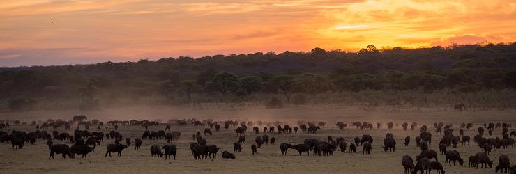 Buffalo at Matetsi Victoria Falls, that you visit on day 10 & 11 of this 15 day safari