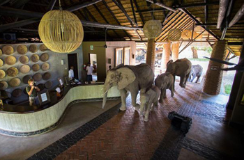Elephants in reception area - an infrequent occurance