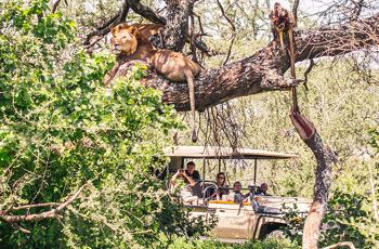 Lions resting in a tree near Mwiba Lodge, Serengeti
