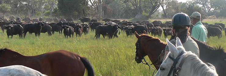 Viewing buffalo from horseback - Okavango Horseback Safaris, Botswana