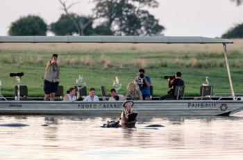 Hippo are abundant on the Chobe River