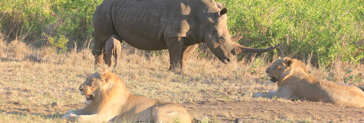 White rhino and lion are just some of the game you can expect to see