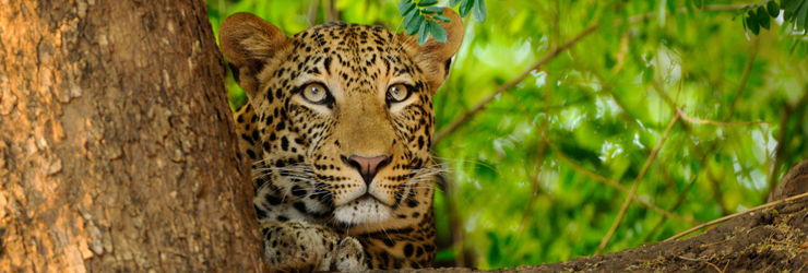 Leopards are regularly seen in Lower Zambezi National Park