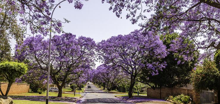 The Jacaranda trees that line Pretorias streets flower in September
