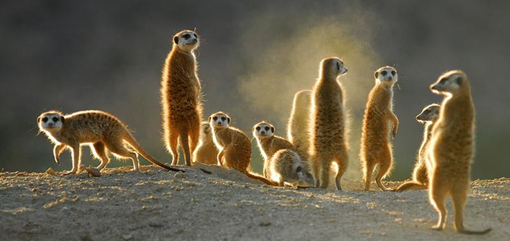 Suricates are just some of the Karoo's fascinating creatures